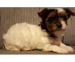 AKC Yorkshire Terrier (Parti) puppies