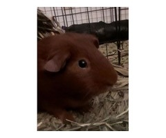 One brown guenea pig and supplies