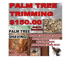 WE TRIM PALM TREES!! No More Pigeon Fungus