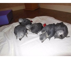 Outstanding Congo African Grey Parrots Well trained adorable for good home