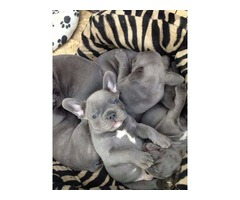 Litter of Playful Friendly Stunning Blue French Bulldog Puppies Ready Now