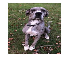 10-Month-Old Male Great Dane For Sale