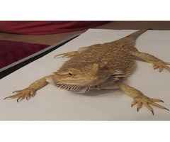 2 Bearded Dragons and set-ups for sale