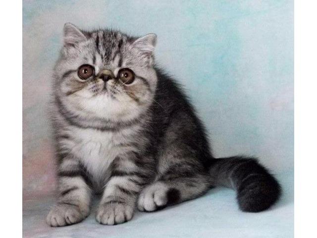 Where to buy exotic shorthair kittens