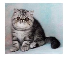 New! Elite exotic shorthair kitten from Europe