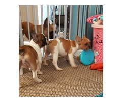 Puppies French Bulldog Ready For New Home !!!