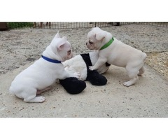 Cream French Bulldog Boys AKc Reg