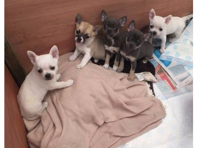 Christmas Chihuahua Puppies For