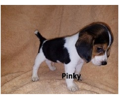 Beagle/dogs AVAILABLE