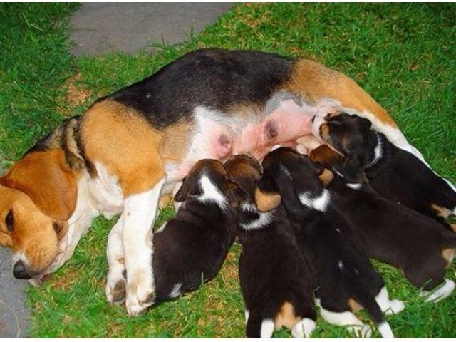 Adorable Beagle Puppydogs Animals Crystal Springs Florida