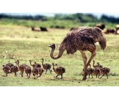 Ostrich Chicks And Guarantee Fertile Hatching Ostrich Eggs For Sale