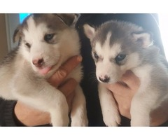 Beautiful Siberian husky purebred puppies.