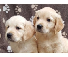 Golden Retriever Dogs and Puppies.
