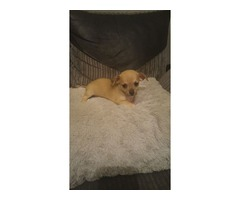 Adorable chihuahua for adoption++