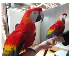 wonderful coupls of scarlet macaw parrots
