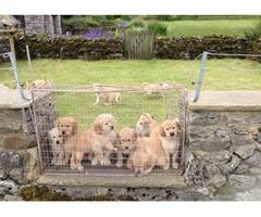 X-mass Urgent Golden retriever puppies available