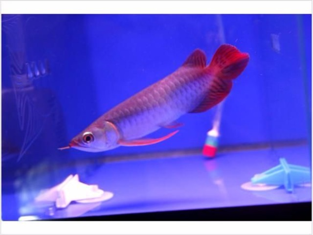 Super red arowana fish for available for sale animals for Red arowana fish for sale in usa