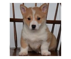 Awesome 11 Week's Old Black & White Pembroke Welsh Corgi pups