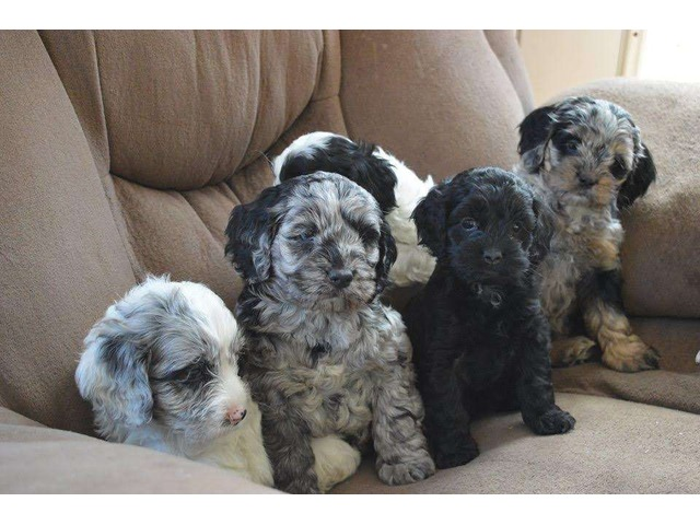 cockapoo puppies ready now animals lawrenceville georgia