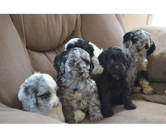 Cockapoo Puppies Ready Now !!!
