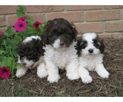 F1b Cockapoo Puppies Pra Clear