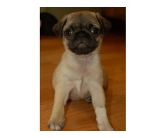 Pug Puppies available Now