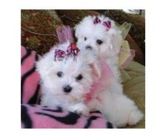 Nice and Healthy Maltese Puppies Available