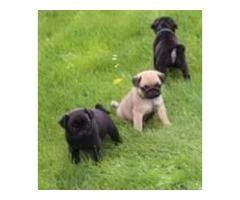 Gorgeous Pug Pups