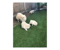 lovely Pomeranian pups