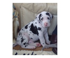 Black and white Spotted Great Dane Puppies