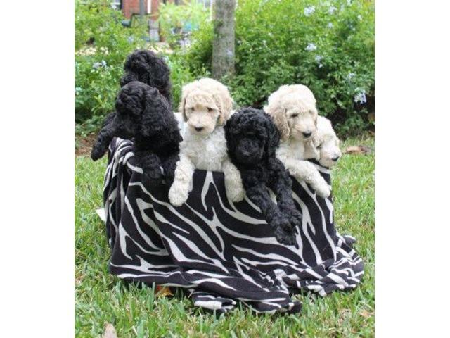 Akc Standard Poodles Animals Houston Texas