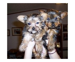 Absolutely Healthy Yorkie Puppies