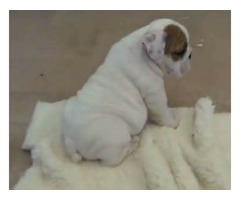 Lovely English bulldog puppy Available