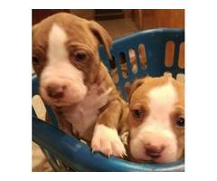 Colorado Bulldog Puppies