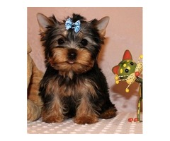 Lovely Yorshire Terrier  puppy Available