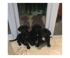3 Gorgeous Cane Corso Pupps