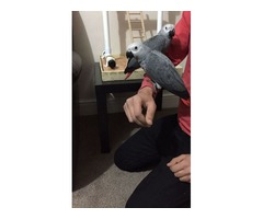 Hand Reared Baby African Grey (no Time Waster)