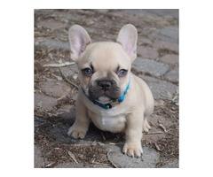 Intelligent french Bulldog Puppies