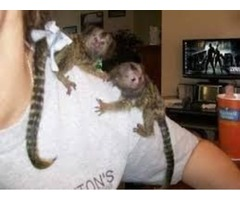 beautiful baby marmoset monkeys for rehoming