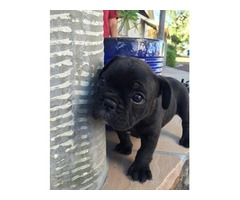 Wonderful French Bulldog Puppies for lovely homes