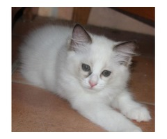 Ragdoll Kittens TICA Registered