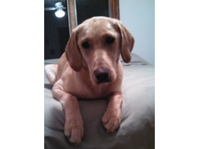 Fox Red And Yellow Lab Pups For Sale Animals Sun Prairie