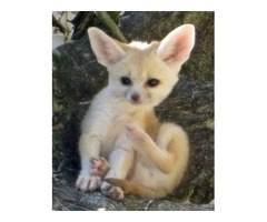 Adorable male and fenake fennec fox
