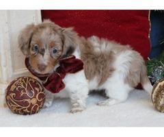 Awesome Little Miniature Dachshund Girl !