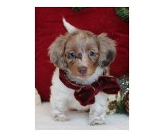 Awesome Little Miniature Dachshund Girl ! | free-classifieds-usa.com