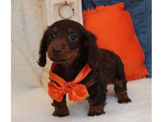 Hershey Mini Dachshund Boyest Est 7 To 8lbs Mature Animals