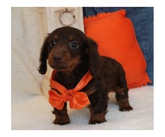 Hershey Mini Dachshund Boy!Est. Est 7 to 8lbs mature