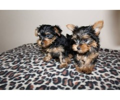 Purebred Akc Yorkie Puppies Available