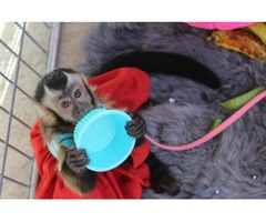 3 months Old Capuchin Monkeys for Sale For Xmass
