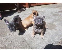 Well Trained French Bulldog Puppies!!